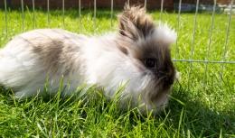 fluffy pet rabbit