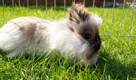fluffy pet rabbit